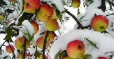В Орше учителей и врачей выгнали собирать яблоки в снегопад (Видео)