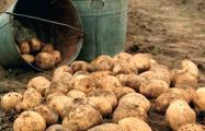 «Скоро картошки не будет»: власти проигрывают «битву за урожай»