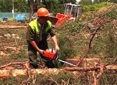 Из-за автоцентра Чижа в Уручье вырубили сотни вековых деревьев