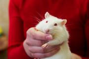 Крупные российские СМИ поведали миру о пожирающих от голода крыс москвичах