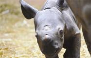 Видеофакт: В Чикаго родился редчайший черный носорог