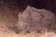 Ученые сняли на видео оседлавшую носорога генетту