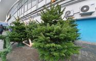В Минске начали продавать живые елки, но цены кусаются