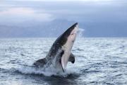 Австралийский дайвер стал жертвой акулы