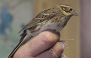 В Беларуси обнаружен новый вид птиц