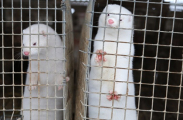 ФБР обвинило освободивших норок активистов в терроризировании промышленности
