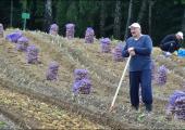 Урожай картофеля в этом году планируется меньше прошлогоднего