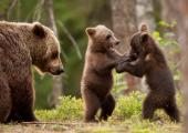 В Беларуси почти в 4 раза выросла популяция медведей