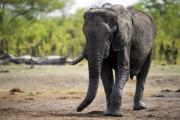 Зимбабве начнет распродажу слонов