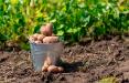 Синоптики рассказали, когда белорусам сажать картошку