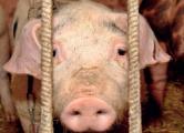 Мясо зараженных свиней пойдет на тушенку