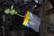 Российские космонавты закончили эксперимент по выращиванию салата на борту МКС