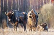 В Литве зубры целыми стадами бегают через железную дорогу