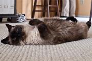 Шуршание фольги и звон бокалов оказались причиной эпилепсии у кошек