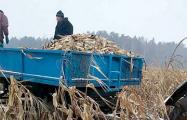 Собирать кукурузу руками из-под снега приказал глава Вилейского исполкома