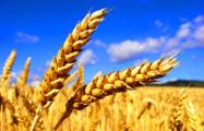 В Свислочском районе нашли «могильник» с прошлогодним зерном