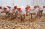 Беларусь ограничивает ввоз свинины из регионов России и Польши