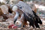 Биологи раскрыли тайну пищеварения падальщиков