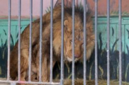 В Гродно лев откусил руку сотруднице зоопарка