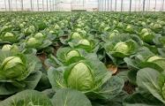 Украина побила рекорд по экспорту капусты в Беларусь