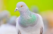 Сотрудники Гродненской таможни приютили у себя почтового голубя из Польши