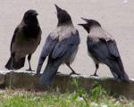 Вороны нападают на жителей Гродно