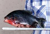 Житель Могилевской области поймал пиранью