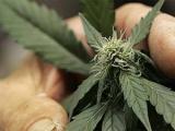 В каталонском городе разрешили выращивать марихуану для борьбы с кризисом