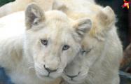 В Минском зоопарке живут белые львы, принадлежащие Коле Лукашенко