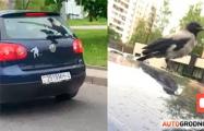 Видеохит: В Гродно обнаружили ворону-зацепера
