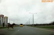 Видеофакт: Лошади резко выбежали на дорогу в Лошице