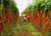 Через Беларусь пытались ввезти в Россию зараженные турецкие томаты