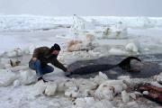 Девять синих китов погибли у побережья Канады