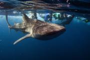 Google защитит свои подводные интернет-кабели от акул