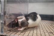 Самцы крыс предпочли одетых в «бюстгальтеры» самок