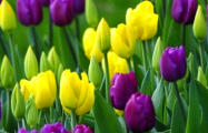 Семья из Лунинца придумала, как разбогатеть на тюльпанах