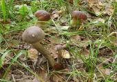 В столице зарегистрированы четыре случая отравления грибами