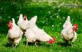 На птицефабрике агрокомбината «Снов» массовый мор птицы