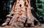 Ученые обнаружили гигантское ископаемое дерево возрастом 10 миллионов лет