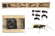 Оссуарные осы защитились трупами